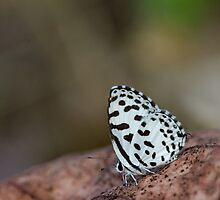 Common Pierrot by OmkarSankpal