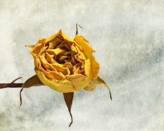 Withered Rose #2 by Glenn Cecero