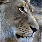 Lion glance! by Greg Parfitt