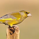 Greenfinch by M.S. Photography/Art