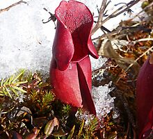 Pitcher Plant by Vickie Emms