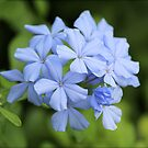 Blue Phlox by freevette