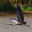 White Faced Heron by Bill  Robinson
