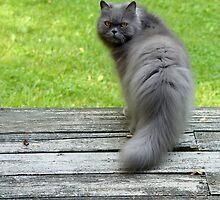 A Beautiful Cat by Carolyn  Fletcher