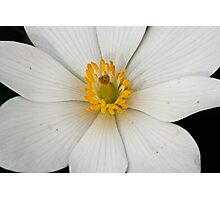 Bloodroot in Bloom Photographic Print