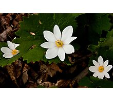 Bloodroot grouping in Bloom Photographic Print