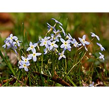 Bluets in the Meadow Photographic Print