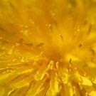 Yellow dandelion flower macro  by Vicki Field