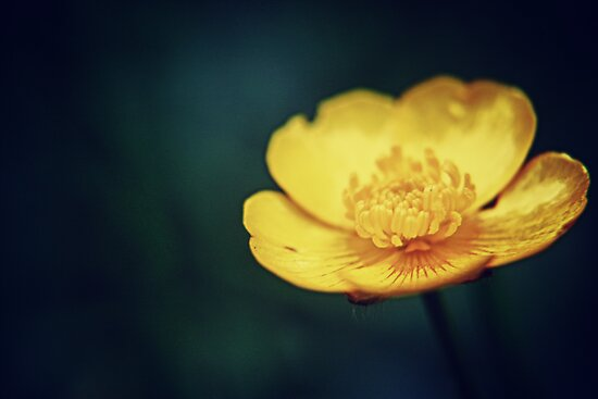 Buttercup flower  by Vicki Field