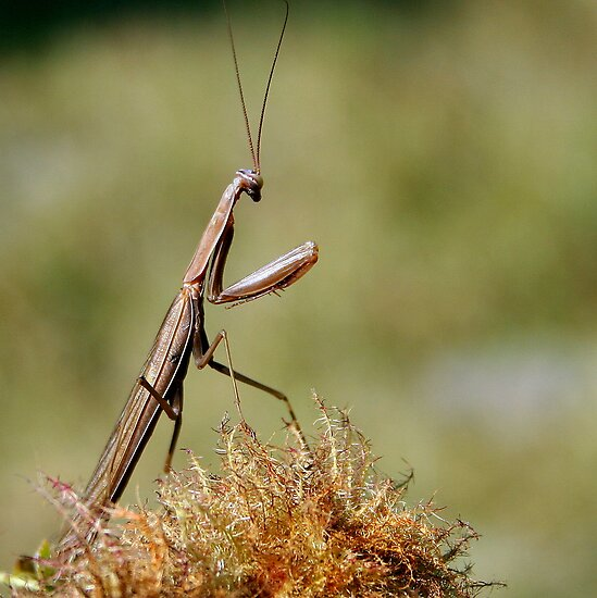 Praying Mantis by Laurel Talabere