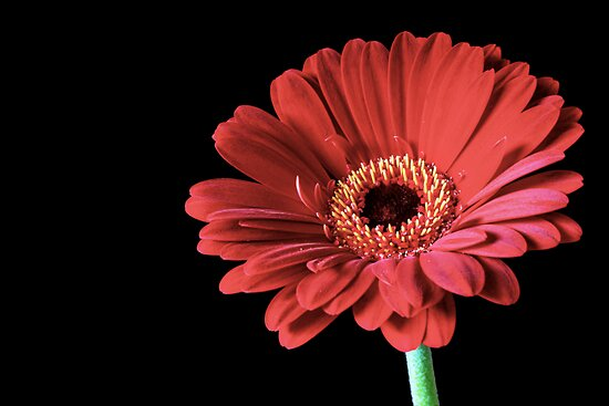 Single Red Gerbera flower by Vicki Field