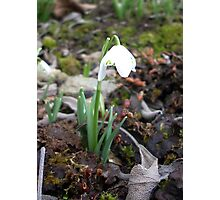 a single snowdrop among dead leaves Photographic Print
