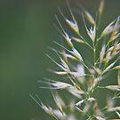 Grass Seeds by Vicki Field