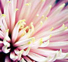 Pink Chrysanthemum flower  by Vicki Field