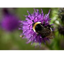 Bumble Bee on a thistle macro Photographic Print