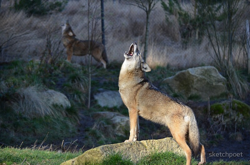 """Red Wolf Howling """"Red Wolves Howli..."""