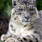 Snow Leopard by sketchpoet