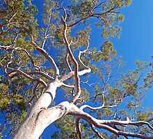 Burragorang Gum Tree by George Petrovsky