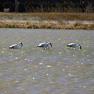 Three Flamingos by garigots