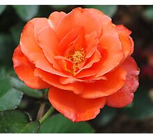Blossomed Orange Rose Photographic Print