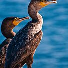 Great Cormorant at Henry Head, Botany Bay by Erik Schlogl