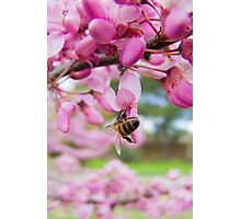 The Bee and the Pink Blossoms 2 Photographic Print
