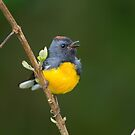 Slate-throated Redstart - Bosque de Paz, Costa Rica by Stephen Stephen