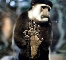 Colobus Monkey, behind glass by Bryant Scannell