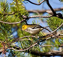 Black-Throated Green Warbler by Richard Labelle