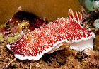 Chromodoris tinctoria, North Sulawesi, Indonesia by Erik Schlogl