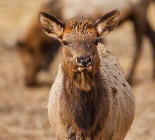Elk Calf by Jim Stiles