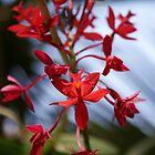 Red Orchid by DianaM