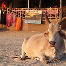 Bull on the Beach at Sunset Palolem by SerenaB