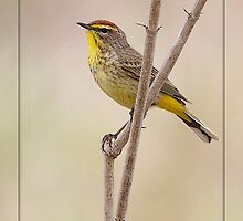 Branching Out - Male Palm Warbler by DigitallyStill