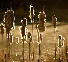 Bullrushes in Sunlight by Jeannette Sheehy