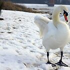 White Swan in the snow by flashcompact