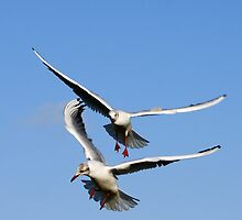 Seagulls in flight by flashcompact