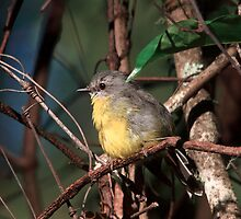 Eastern Yellow Robin by mosaicavenues