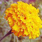 """Golden Marigold"" by kkphoto1"