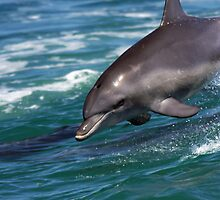 Rockingham dolphin by BeninFreo