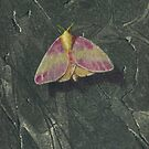 Rosy Maple Moth by Michael Douglas Jones