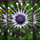 The African Daisy by Irina777