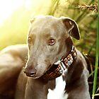 Cody by GreyhoundSN