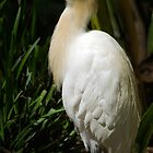 Cattle Egret by Tony Cave