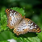 White Peacock Butterfly On Leaves by Kathy Baccari
