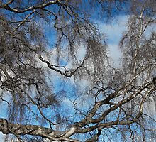 Weeping Birch (Betula pendula 'Tristis') by asm1