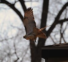 Redtailed Hawk on the Hunt by Thomas Mckibben