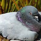 Eeesh!!  I Don't Think My Eyes Will Stay Open Much Longer!!! - Pigeon - NZ by AndreaEL