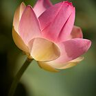 Pink Lotus by Greg Earl