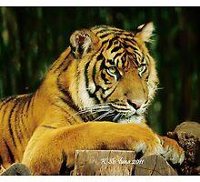 lazy tiger by bluetaipan